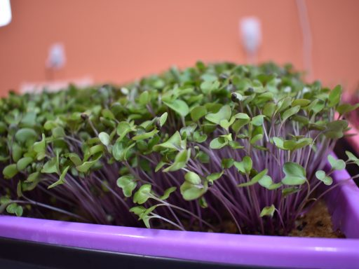 IMPORTANT MICROGREEN CARE TIPS